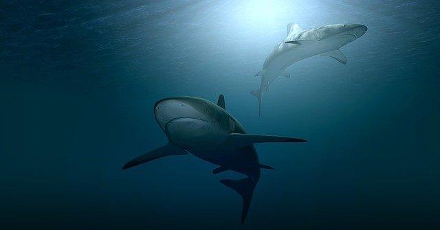 El tiburón como metáfora de las revistas depredadoras.